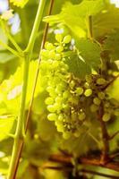 grüne Trauben im sonnigen Weinberg foto