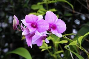 schöne rosa Orchidee, die im Garten blüht foto