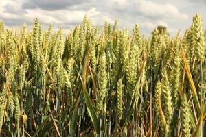 Nahaufnahme von Weizenkorn