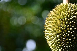 Durianfrucht auf Baumnahaufnahme am Garten, Thailand foto