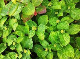 Pflanze - Hortensie foto