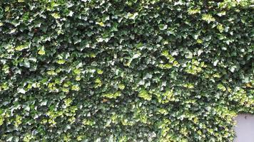 Wand mit Efeupflanzen