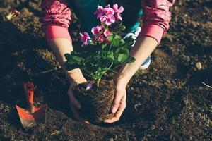 Gartenarbeit, Geranien pflanzen. Retro Farben