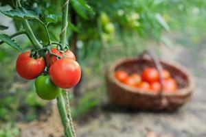 rote Bio-Tomatenpflanze und Obst