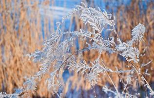 bedeckt von schneetrockenen Pflanzen. selektiver Fokus foto