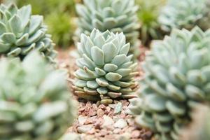 Kaktus in einem botanischen Garten in Singapur gepflanzt
