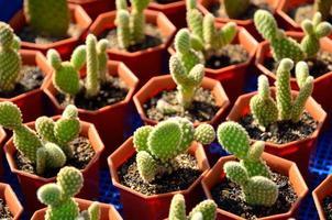 Kaktus eingetopft foto