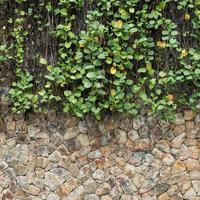 grüner Efeu und Steinmauer