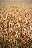 Feld von reifem Weizen foto