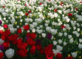 bunte Tulpen foto