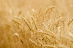goldener Weizen