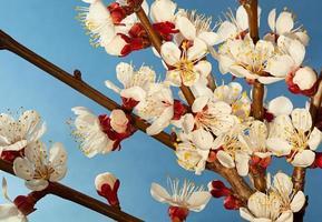 Aprikosenbaumblütenzweig