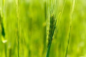 Ohr aus grüner Gerste foto