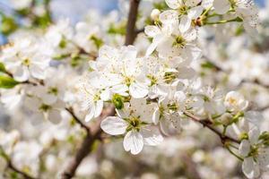 Blütenkirschbaum foto