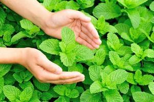 Hände schützen Minzpflanzen foto