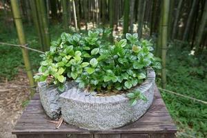 weißer Tee / grüne Teepflanze foto