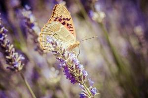 schöner Schmetterling, der auf Lavendelpflanzen sitzt