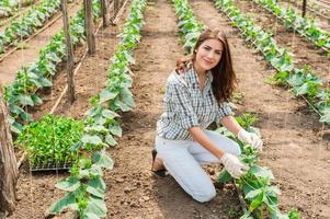 Frau, die im Gewächshaus mit Gurkenpflanzen arbeitet. foto