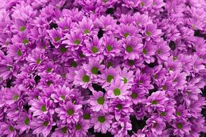 Chrysantheme Rhianna Pink foto