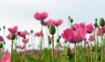 zerbrechliche rosa blühende Mohnblumen
