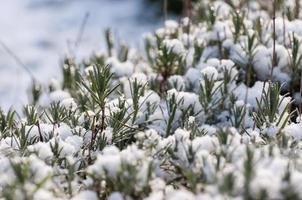 Nahaufnahme von schneebedecktem Lavendel foto