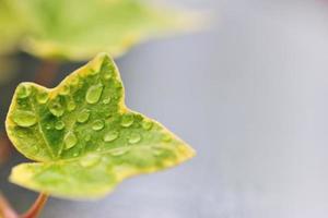 grüner Efeu