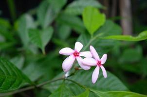 Rangoon Creeper, betrunkener Seemann, Combretaceae, Quisqualis Indica Linn. foto