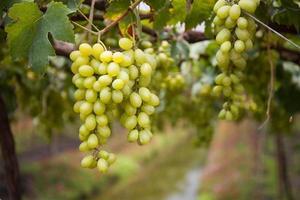 Bild des reifen weißen Traubenzweigs mit Weinblatthintergrund