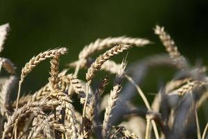 Weizen auf grünem Hintergrund foto
