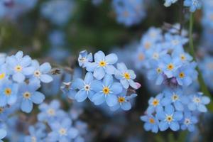blaue Sommerzeitblumen