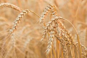 Nahaufnahme eines Weizenfeldes foto
