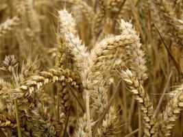 Weizen im Feld foto
