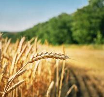 Weizenähre bereit zur Ernte foto