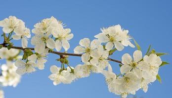 Blütenkirsche gegen einen blauen Himmel