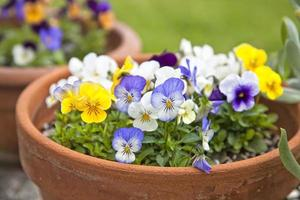violette Pflanzgefäße foto