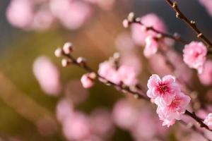 ume japanische Pflaumenblüte foto