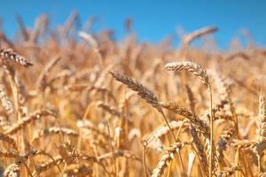 Weizenfeld und blauer Himmel