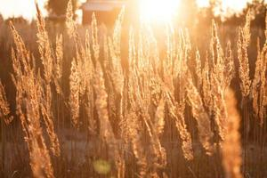 trockenes Gras und Sonnenuntergang foto