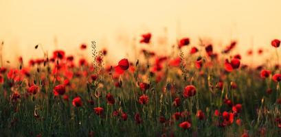 rote Mohnblumen im warmen Abendlicht