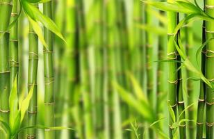 Bambusbäume
