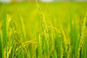 reifendes Getreide im Feld