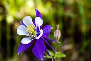 blühende blaue Akelei Blumen foto
