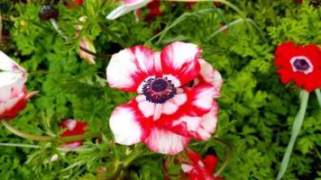 rosa und rote Iris foto