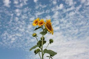 Sonnenblumen gegen einen blauen Himmel