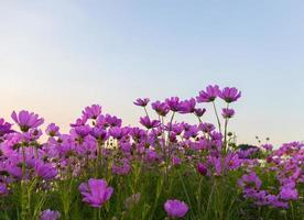 rosa Kosmosblumen