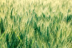 unreifer Weizen foto