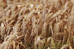 Weizen nah oben auf dem Bauernhoffeld