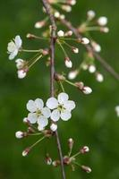 chery Blüte