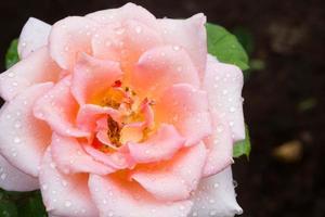 schöne rosa Rose in einem Garten