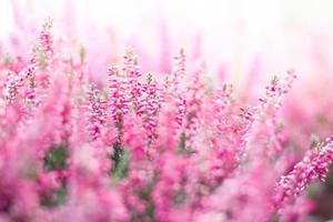 Heideblumen